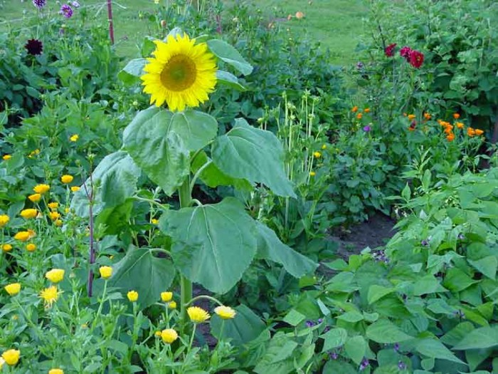 Big-Sunflower-