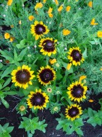 Black-Eyed-Susans-