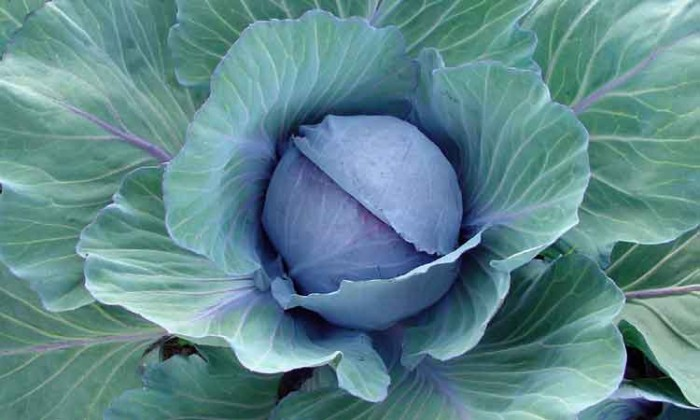 Cabbage-