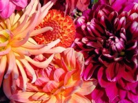 Dahlia-Bouquet-Close-Up-