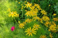 Yellow-Daisy-