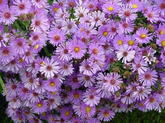 Asters-