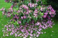 Fading-Rhodie--