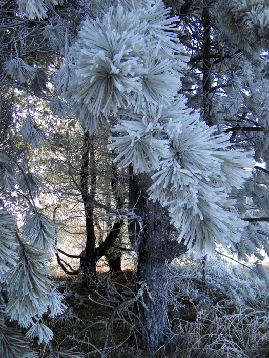 Pine in Ice